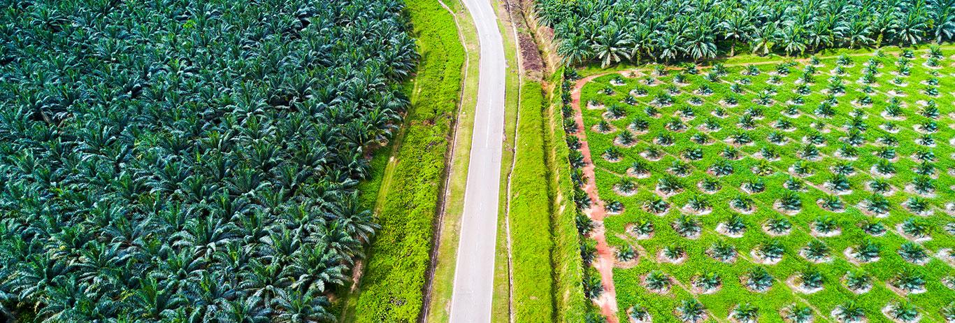 palms grown for sustainable palm oil production